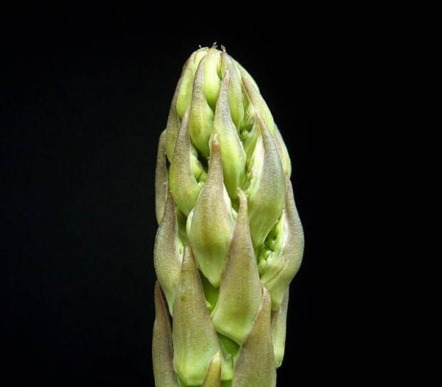 asparagus_officinalis_ies